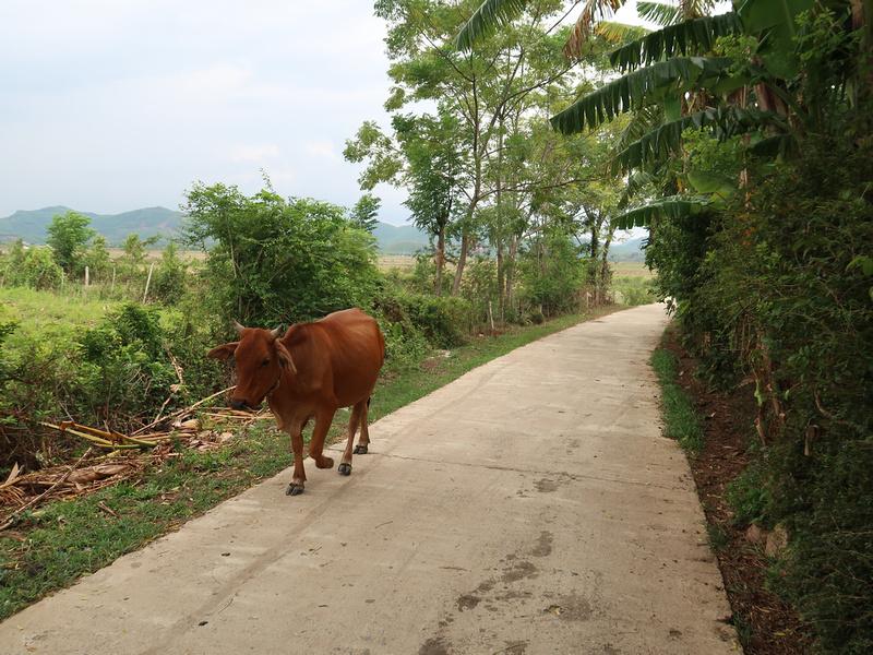 Wandering cow