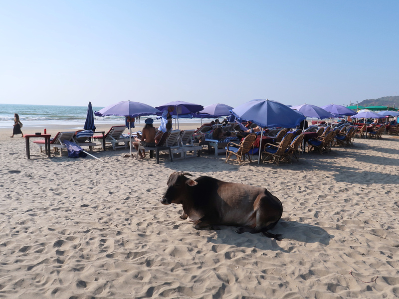 Arambol beach cow