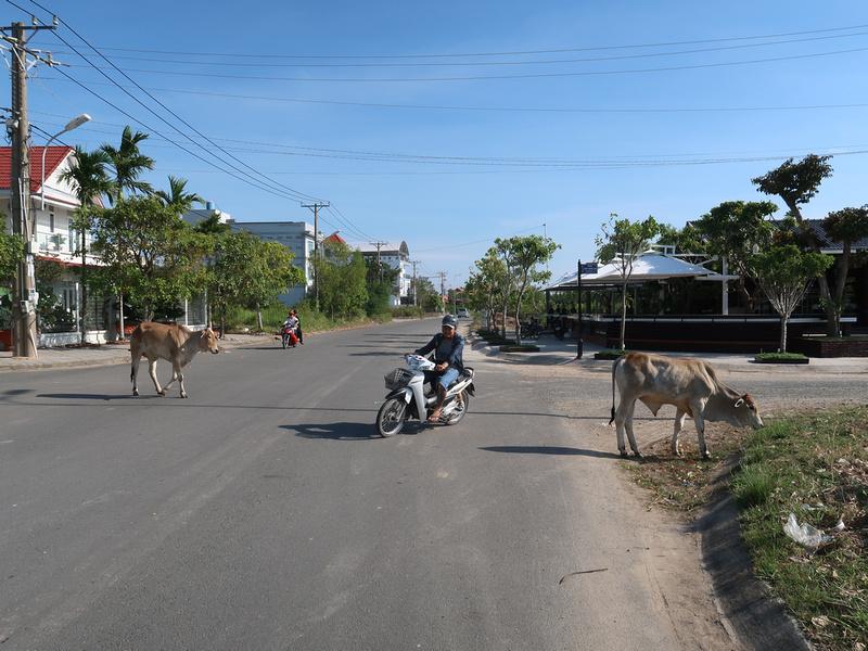 Tran Phu cows