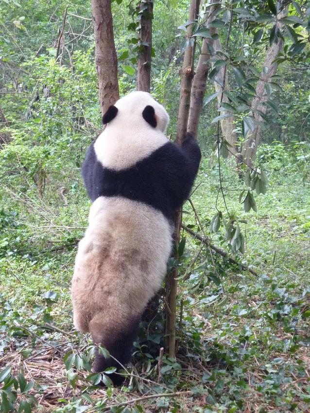 Giant Panda standing up
