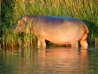 P5036156-lone-eating-hippo