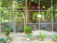 20180603_100532-caged-peacocks