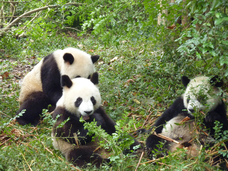 Group of young pandas