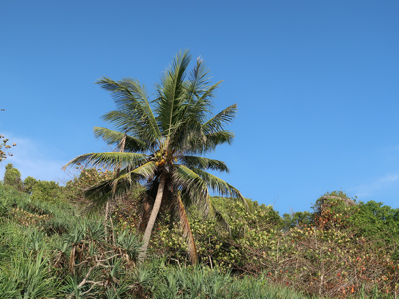 Lonely coconut tree