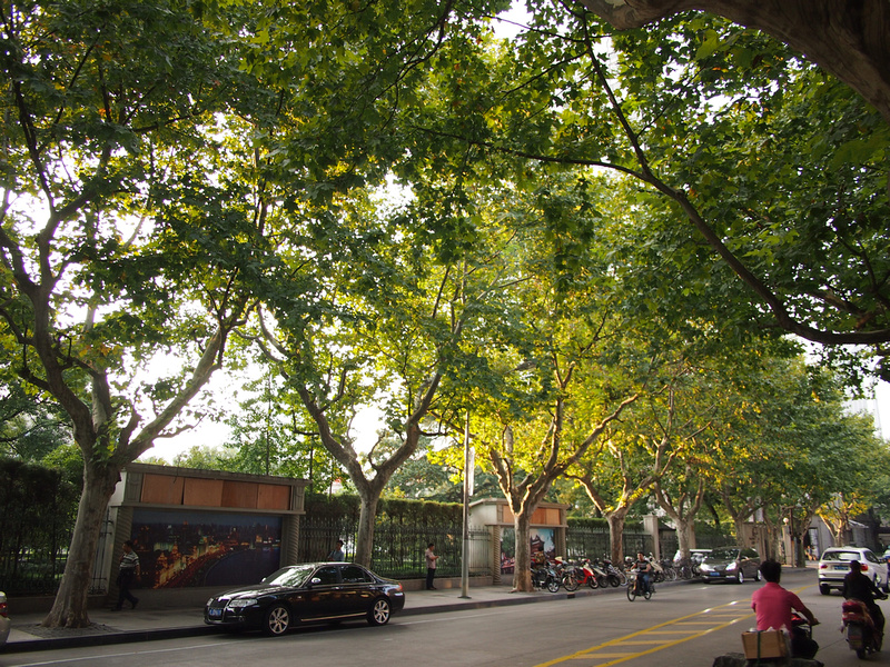 Plane trees of Shanghai