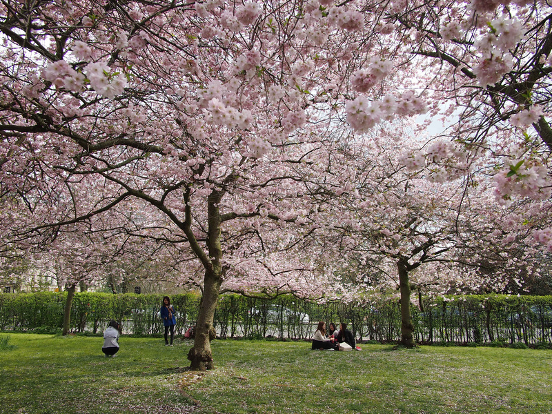 Cherry Blossoms - Regents Park