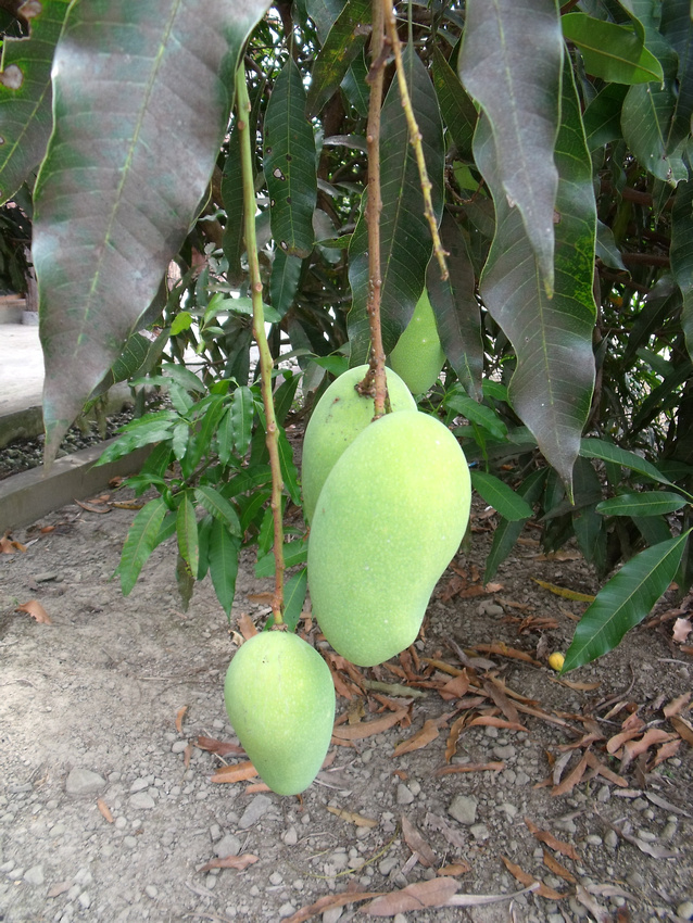 Mangoes on tree: Tomok - Sumatra