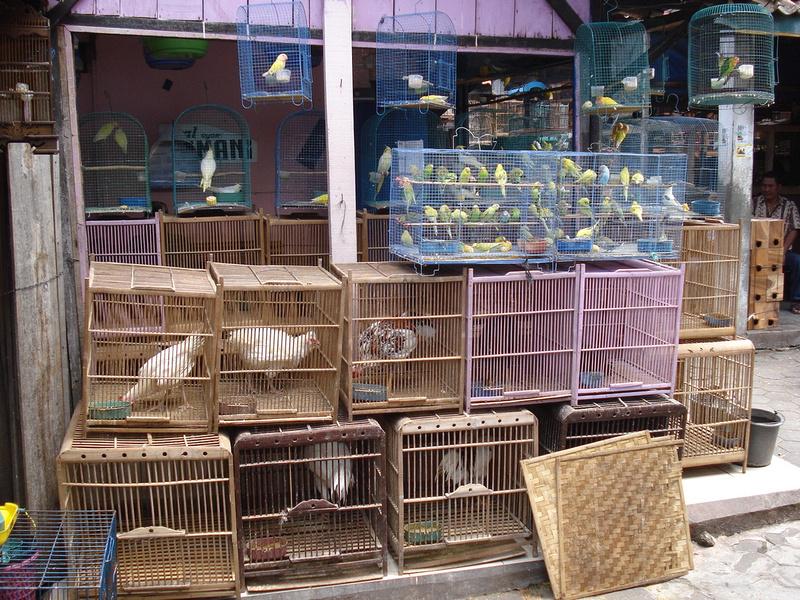 Bird Market: Yogyakarta - Java
