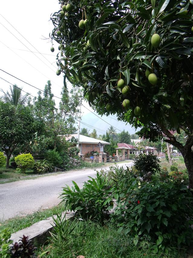 Mango tree: Tuk-Tuk - Sumatra