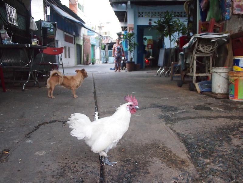 Urban Chicken