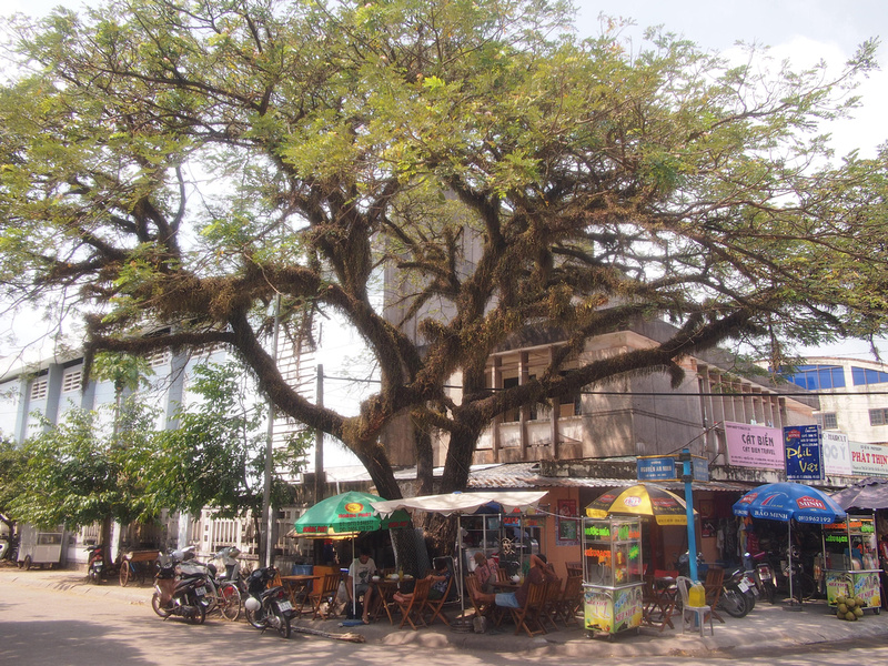Big Tree - Duong Dong