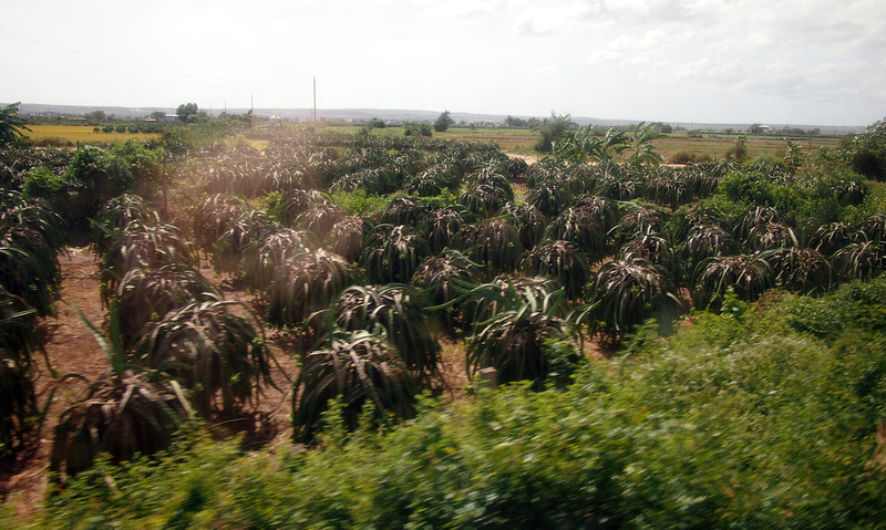 Southern dragonfruits