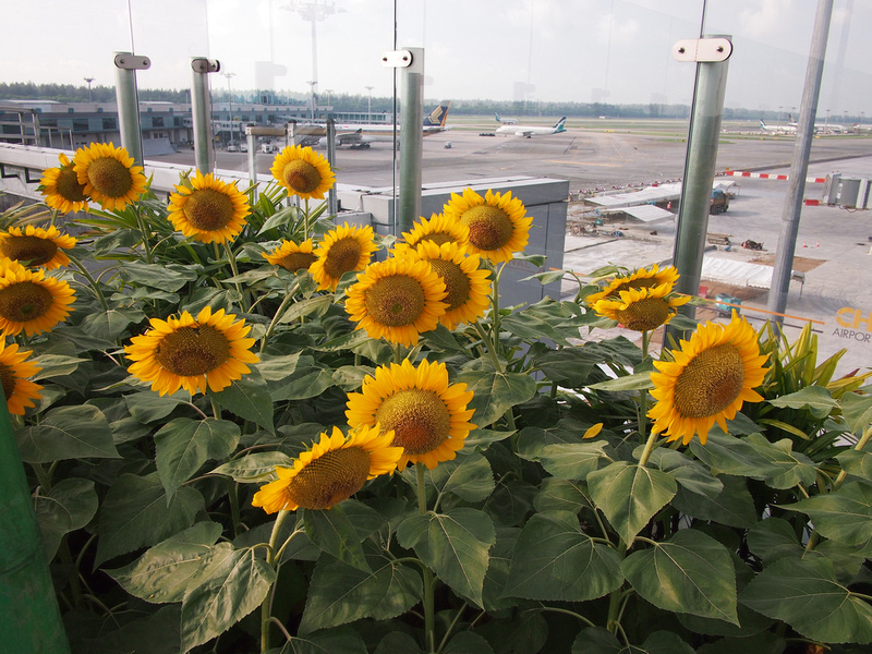 Sunflower Garden - Singapore Changi Airport